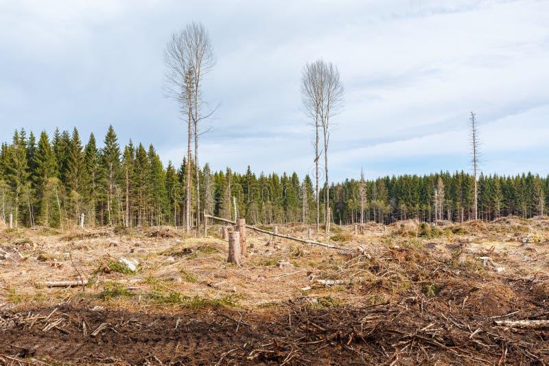 Disboscamento a taglio raso in una foresta attillata dell'albero immagine stock libera da diritti