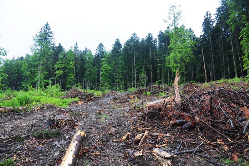 Disboscamento in Ucraina, Europa Ceppo di albero dopo il deforestatio fotografia stock libera da diritti
