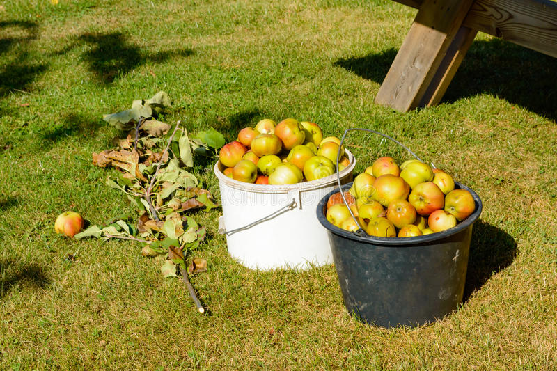 Discarded apples. Two buckets full of discarded apples. The apples are collected and will be tossed on the compost. Discarded apples and other fruit makes good royalty free stock photography