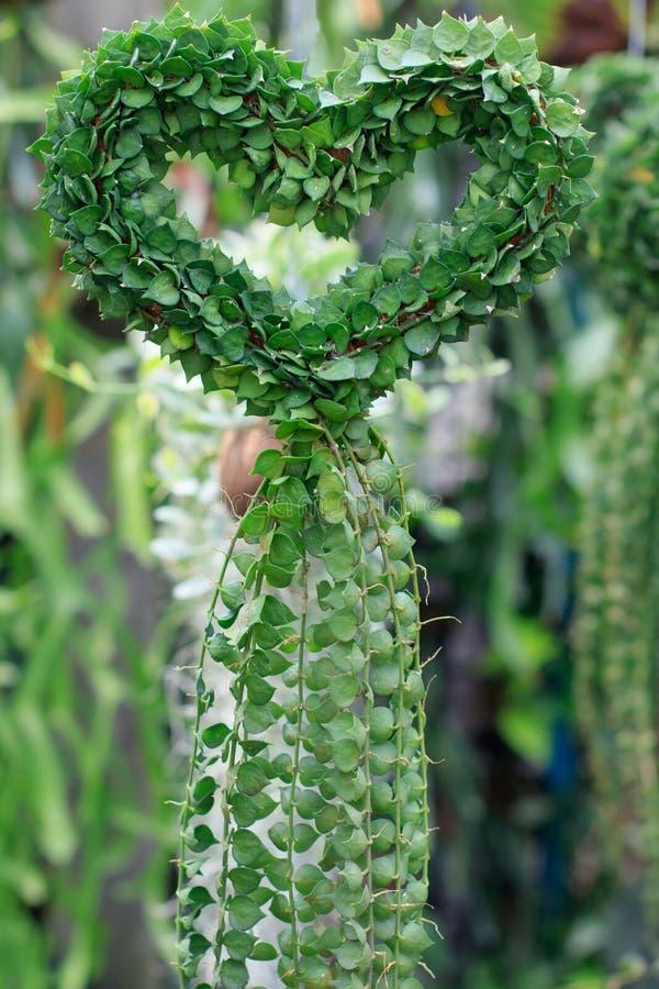 Dischidiasp, cuori modella la formazione della pianta decorati in hous verde immagini stock libere da diritti
