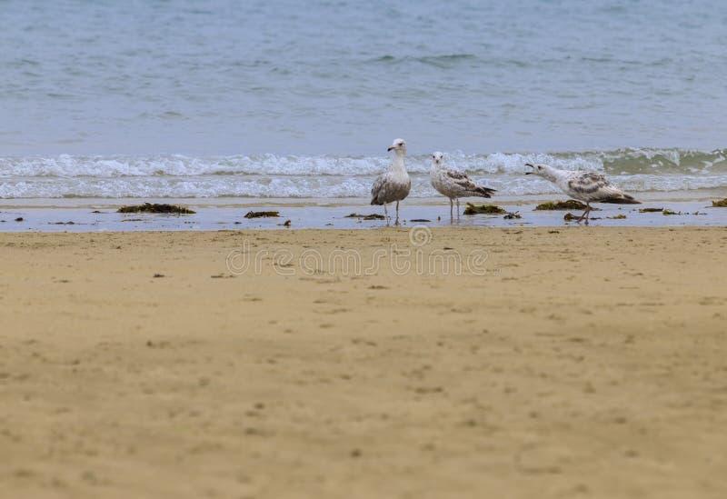 Disclaimer of 3 seagulls Laridae. In a european beach stock image
