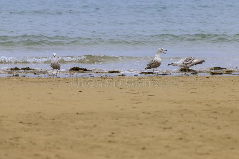 Disclaimer of seagulls Laridae in a european beach. Disclaimer of 3 seagulls Laridae ina european beach sea waves stock photography