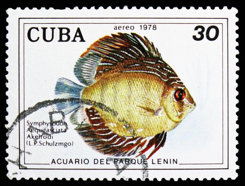 Disco azul (aequifasciata Axelrodi) de Symphysodon, serie dos peixes (no aquário do parque de Lenin, Havana), cerca de 1978 foto de stock