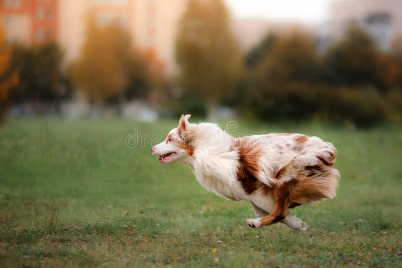 Disco de cogida del perro en salto foto de archivo libre de regalías