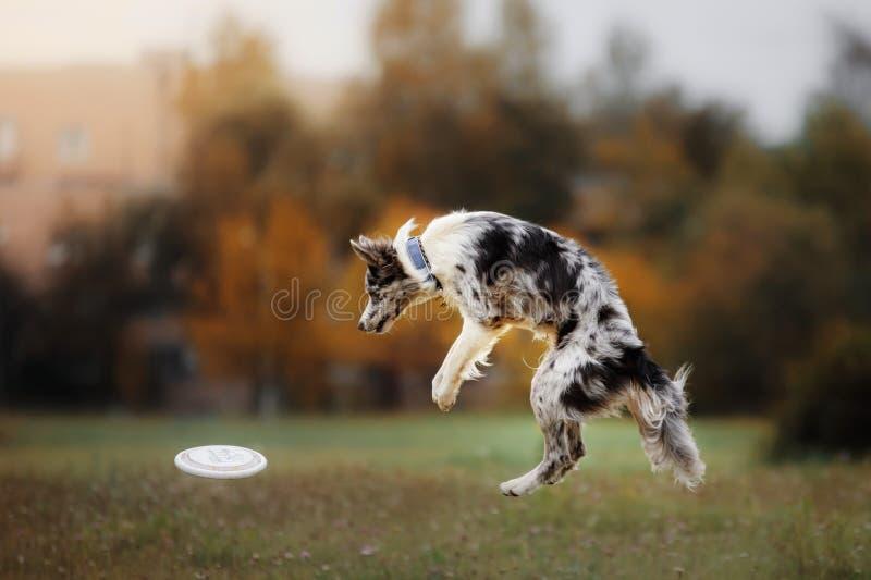 Disco de cogida del perro en salto fotografía de archivo libre de regalías