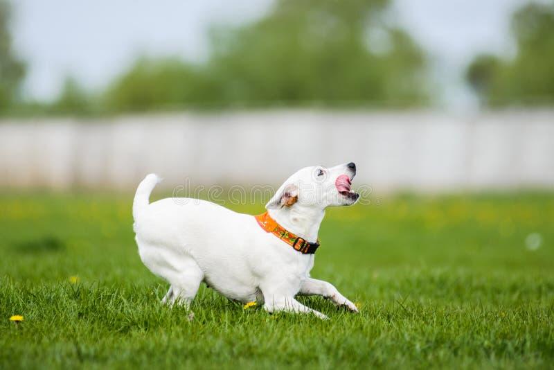 Disco de cogida del disco volador de Jack Russell Terrier foto de archivo