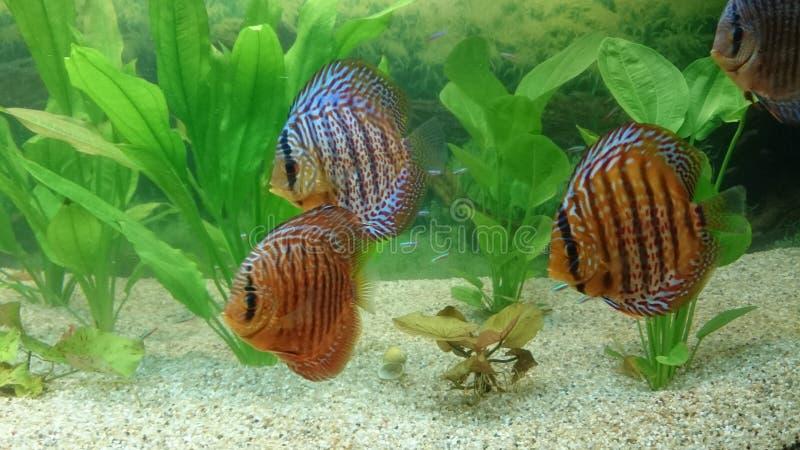 Disco - especie tropical de los pescados del acuario fotos de archivo libres de regalías