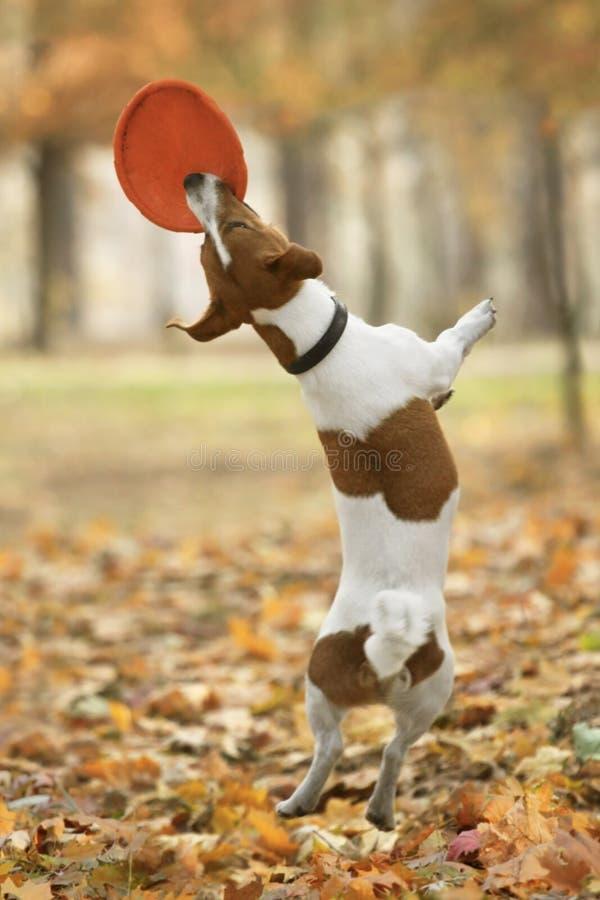 Disco volador de cogida del terrier divertido de Jack Russel fotos de archivo libres de regalías