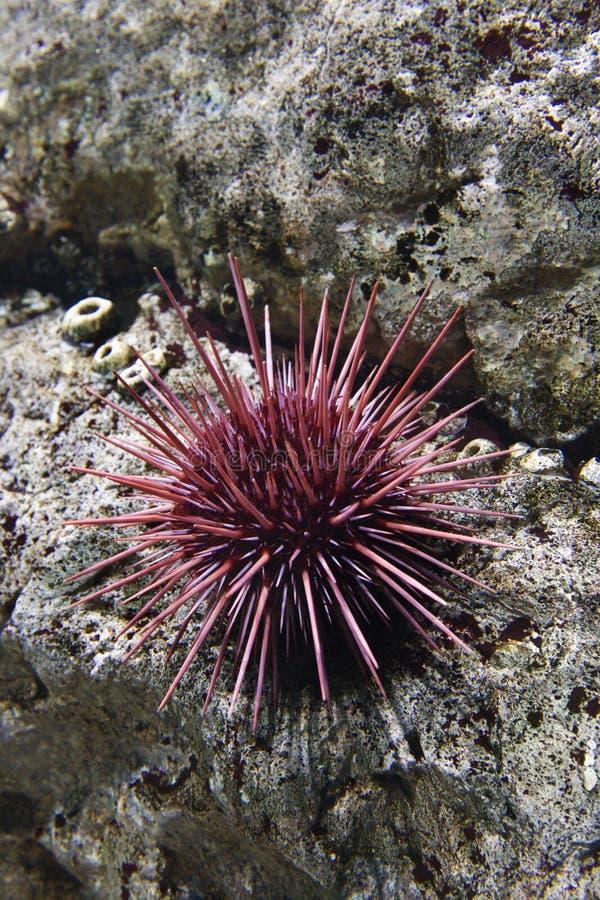 Discolo di mare subacqueo in acquario. fotografia stock libera da diritti