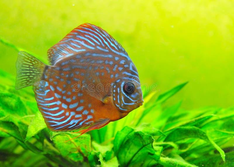 Discus immagine stock immagine di colorful subacqueo for Pesce discus