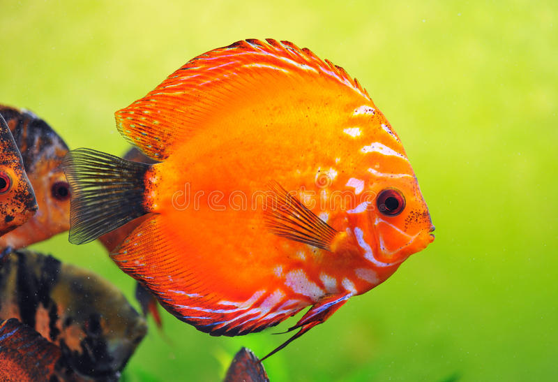 Download Discus stock image. Image of tropical, discus, animal - 14305101
