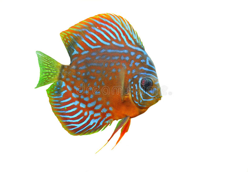Download Discus stock photo. Image of underwater, glass, colorful - 14855464