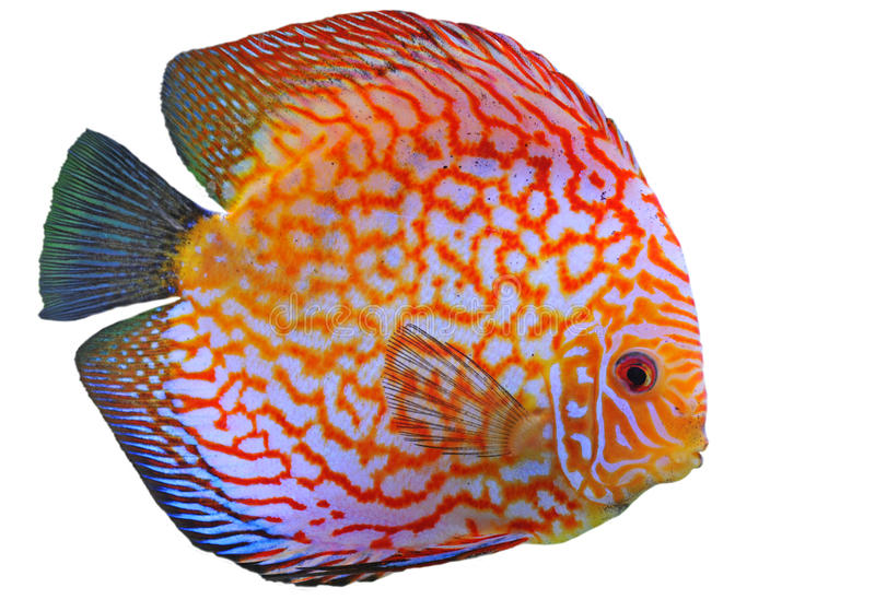 Download Discus stock image. Image of glass, curve, fish, symphisodon - 14855521