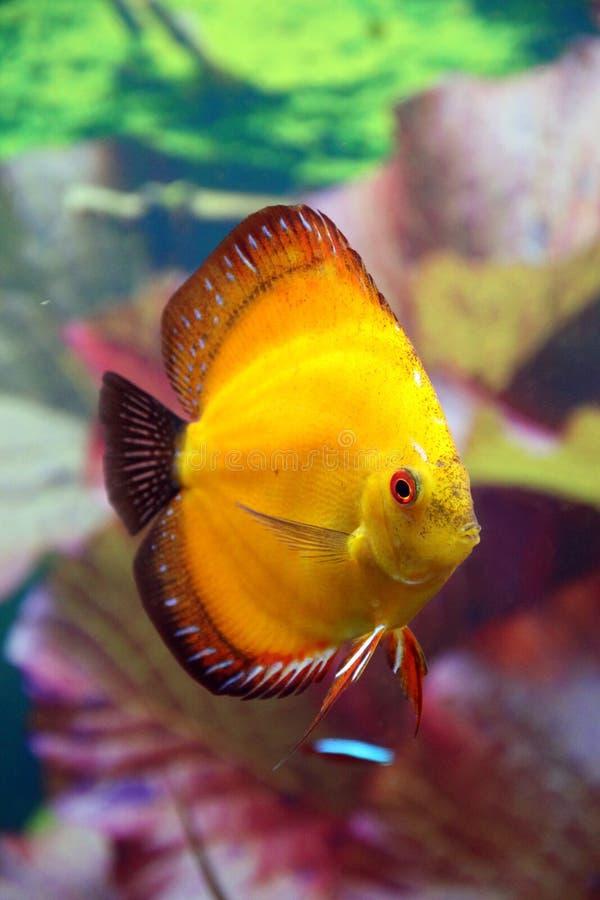 Discus aquarium fish. Discus home aquarium fish in gold colors stock images