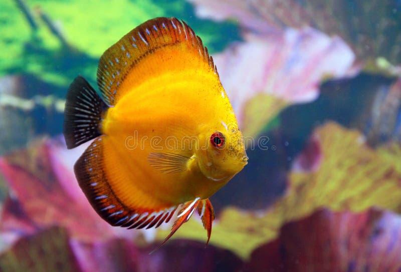 Discus aquarium fish. Discus home aquarium fish in gold colors royalty free stock images