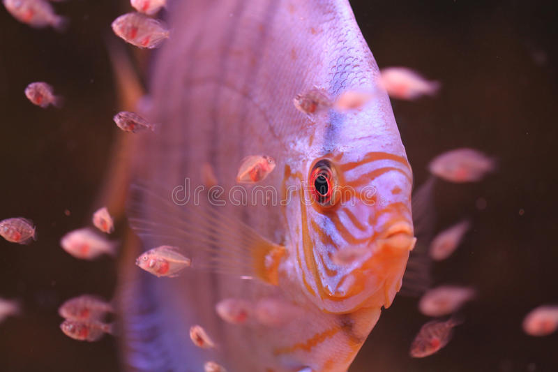 Discus and Baby fish royalty free stock images