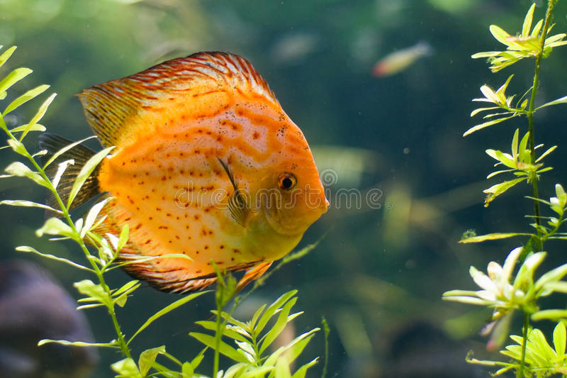 Discus fish. Discus (Symphysodon Aeqifasciata) fish swimming and looking to the camera stock photos