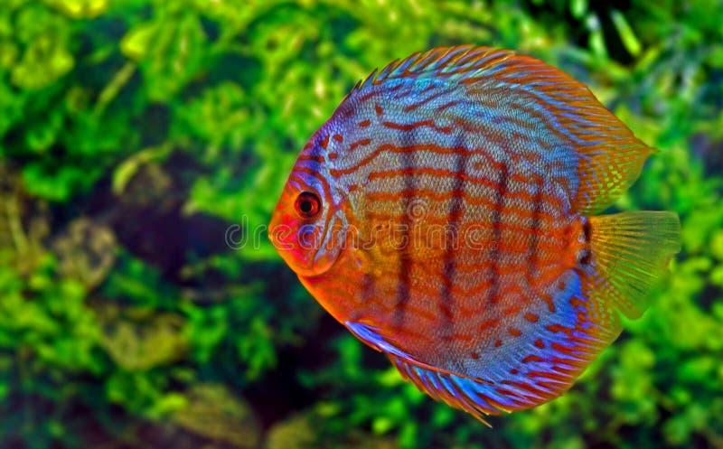 Discus fish stock images