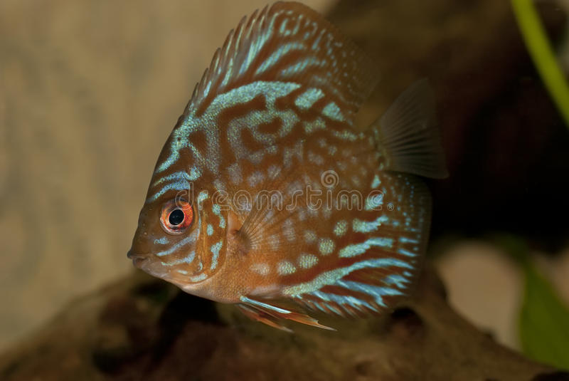 Discus fish. Discus (Symphysodon spp.) are a genus of three species of cichlid freshwater fishes native to the Amazon River basin royalty free stock image