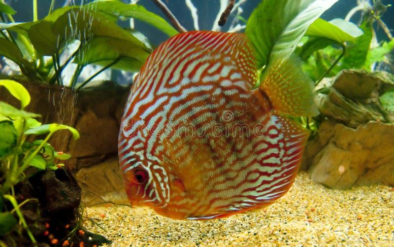 Download Discus fish stock image. Image of plant, live, rock, aqua - 18674359