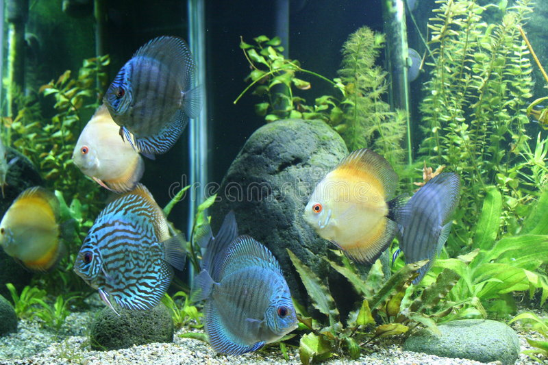 Download Discus Fish stock image. Image of leisure, living, live - 2672431