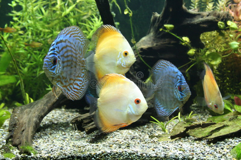 Download Discus Fish Royalty Free Stock Image - Image: 2672436