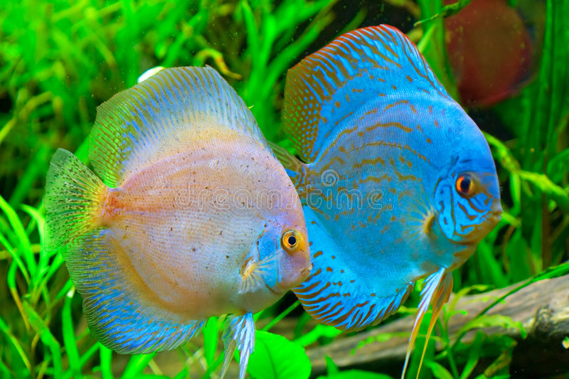 Discus fish stock image image of life reef amazon for Can you get a fishing license at walmart