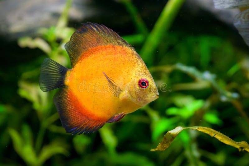 Discus fish. Symphysodon aequifasciatus in aquarium stock images