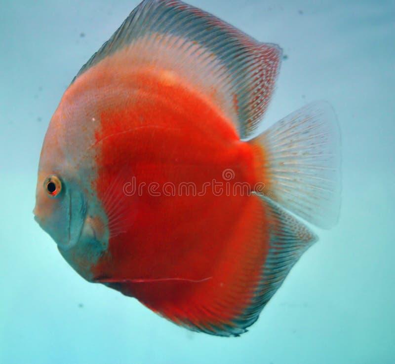 discus fish royalty free stock photos