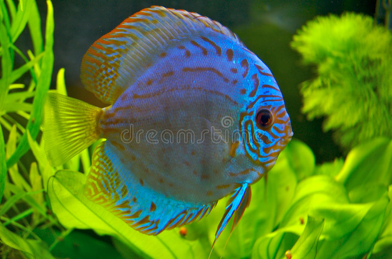 Download Discus fish stock photo. Image of grace, clear, aquarium - 772452