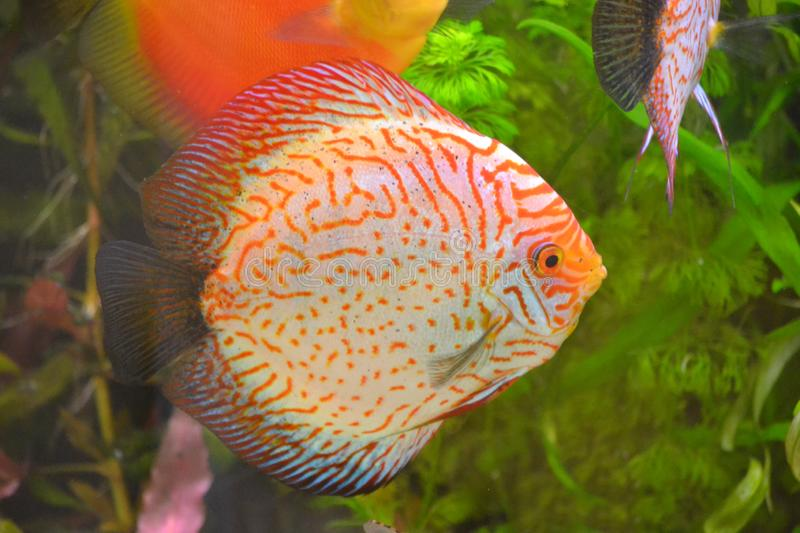 Discus fish, symphysodon royalty free stock images