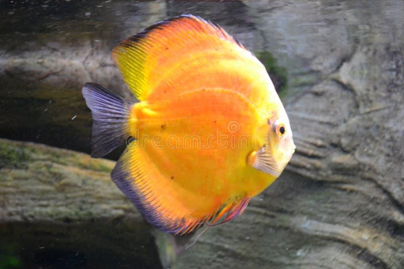 Discus fish, symphysodon. Orange discus fish - symphysodon, rocks in background royalty free stock image