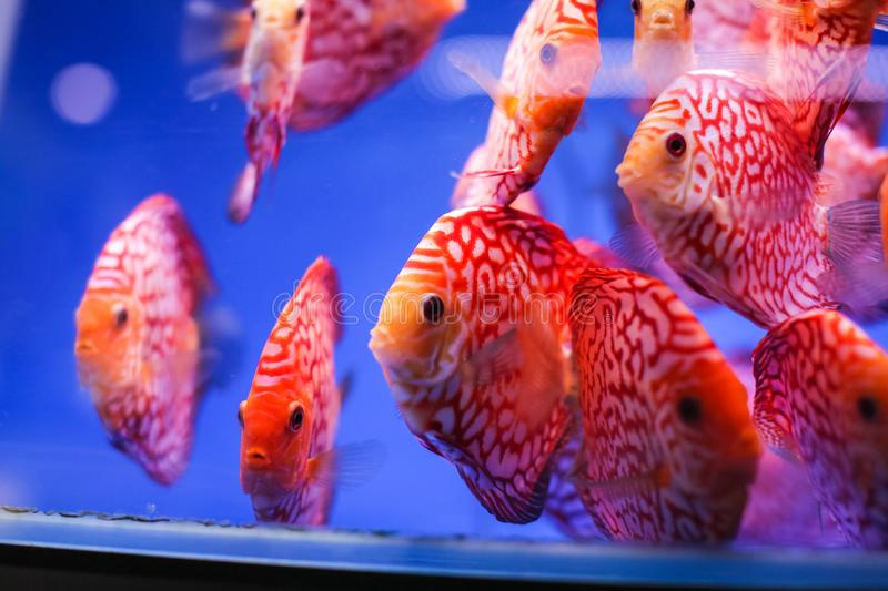Discus fish Symphysodon aequifasciatus red melon with red turqoise leopard in blue aquarium. royalty free stock image