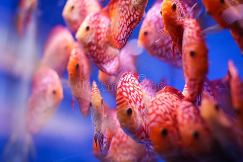 Discus fish Symphysodon aequifasciatus red melon with red/turqoise leopard in blue aquarium royalty free stock images