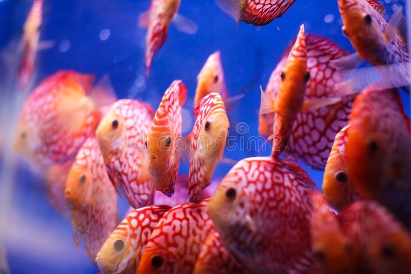 Discus fish Symphysodon aequifasciatus red melon with red turqoise leopard in blue aquarium. royalty free stock photo