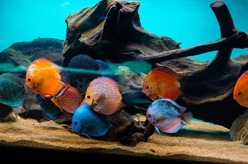 Discus fish. Symphysodon (discus fish) in the aquarium stock images