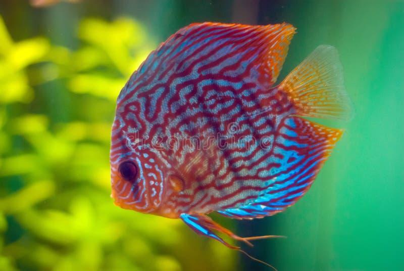 Discus fish stock photo image of fish discus freshwater for Amazon aquarium fish