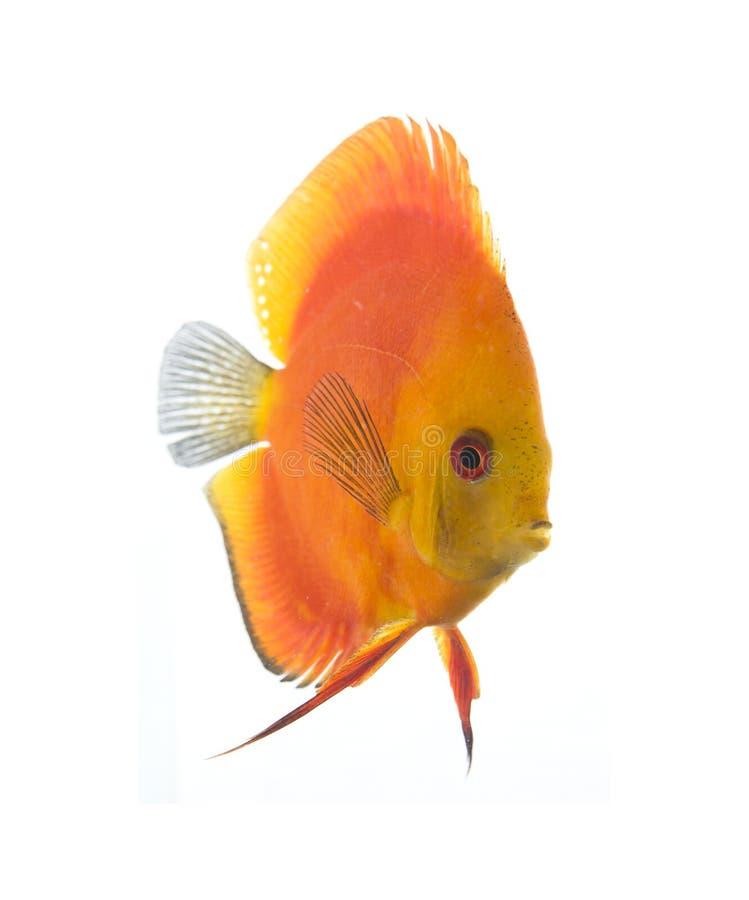 Download Discus - King Of The Aquarium Stock Photo - Image: 15719846