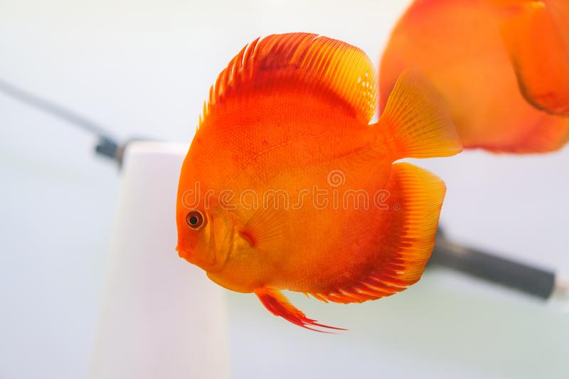 Discus Symphysodon, red cichlid in the aquarium, the freshwater fish. stock images