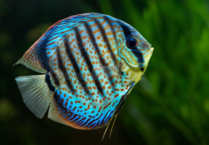 Discus, tropische decoratieve vissen stock fotografie