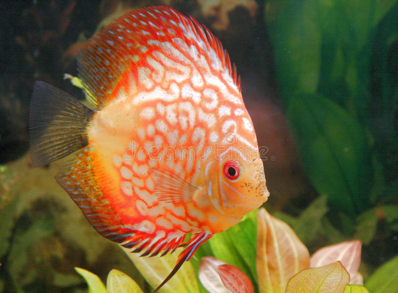 discusfish obrazy royalty free