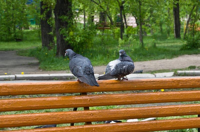 A discussão de dois fascinou pombos em um banco de parque imagem de stock royalty free