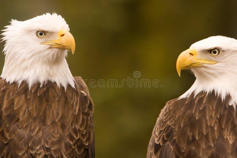 Discussion d'aigle chauve photographie stock libre de droits