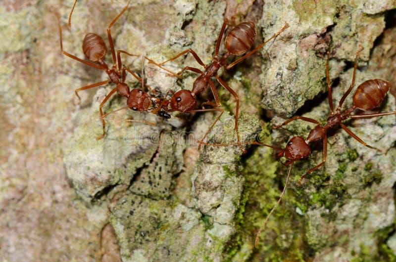 Discutez les fourmis image libre de droits