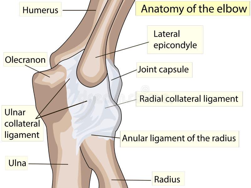 Diseño anatómico ligamento colateral posterior y radial de la junta de codo stock de ilustración
