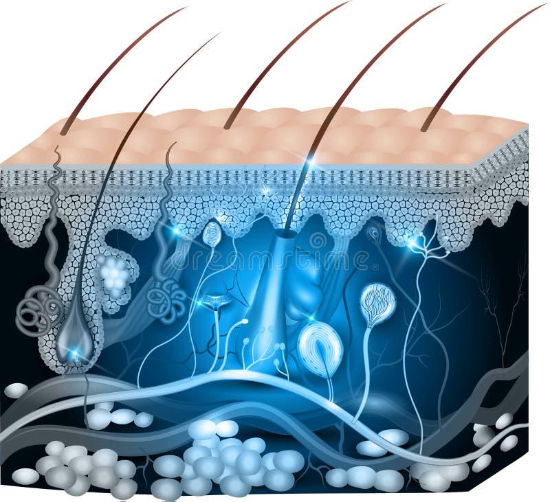 Diseño azul del extracto de la anatomía de la piel stock de ilustración