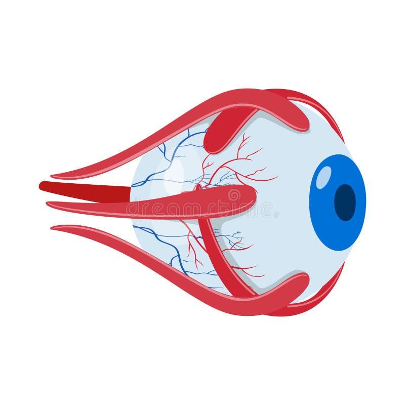 Diseño del vector de icono de la anatomía y del órgano Fije de la anatomía y del símbolo común médico para la web libre illustration