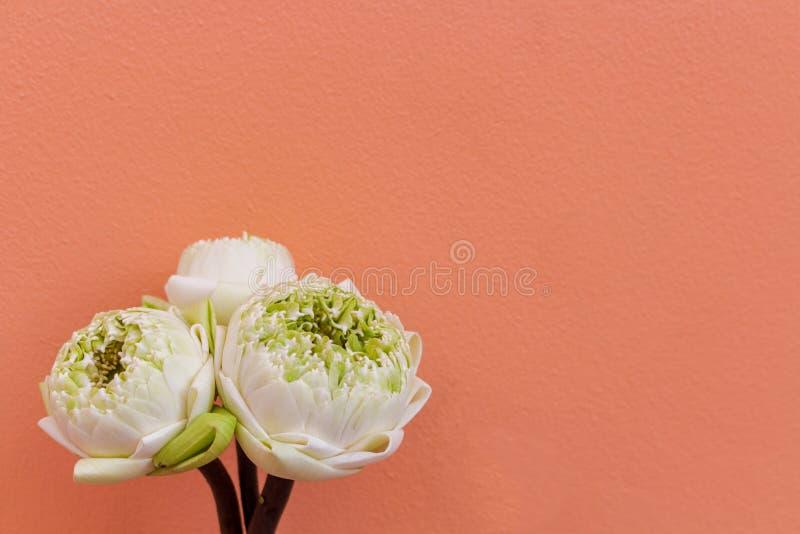 Diseño para tres brotes del verde de la flor de loto aislados en fondo del color imagen de archivo