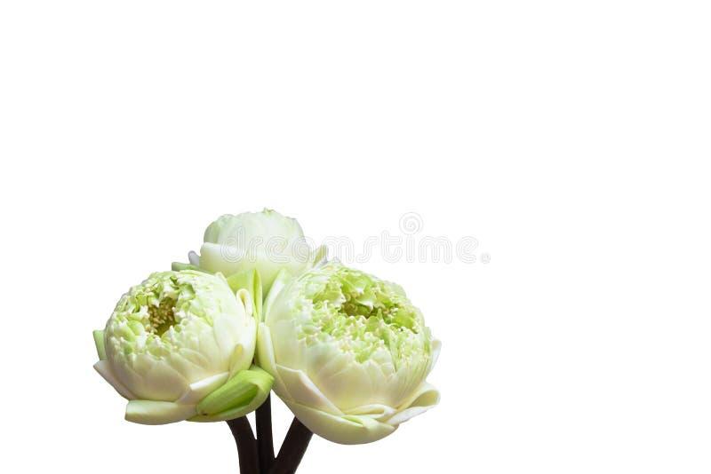 Diseño para tres brotes verdes de las flores de loto, aislado en blanco trayectoria de recortes en el fondo imagenes de archivo