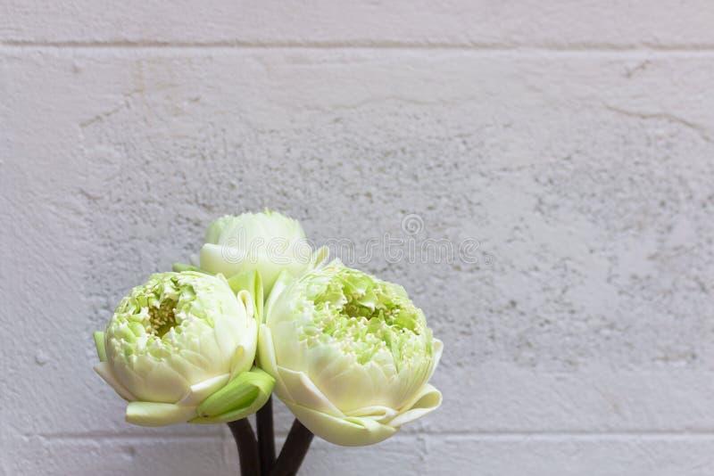 Diseño para tres brotes verdes de las flores de loto aislados en el fondo blanco del muro de cemento foto de archivo